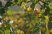 Grape Vines — Stock Photo