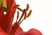 Beautiful Asiatic Lily Bloom — Stock Photo