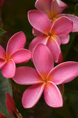 Pink Plumeria Flowers on the Tree — Stock Photo