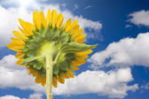 Sunflower Soaking Up The Sun Rays Agains — Stock Photo