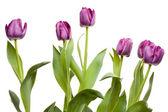 Macro of Purple Tulips with Water Drops — Stock Photo