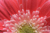 Macro Pink Gerber Daisy with Water Drops — Stock Photo