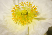 Macro White Iceland Poppie Bloom — Stock Photo
