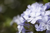 Macro Purple Spring Flower Blossom — Stock Photo