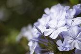 Wiosna makro fioletowy kwiat kwitnąć — Zdjęcie stockowe