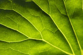 Macro Backlit Large Leaf — Stock Photo