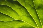 Makro podświetleniem dużego liścia — Zdjęcie stockowe