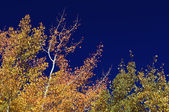 Colorful Aspen Pines Against Deep Blue Sky — Stock Photo
