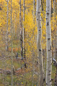 Aspen Pines Changing Color Before Winter — Stock Photo