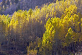 Aspen Pines Changing Color Against the Mountain — Stock Photo