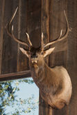 Mounted Stag Head on Cabin Wall — Stock Photo