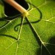Stock Photo: Beautiful Grape Leaf Macro