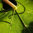 Beautiful Grape Leaf Macro - Stock Photo