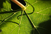 Beautiful Grape Leaf Macro — Stock Photo