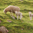 Three sheep — Stock Photo