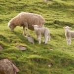 Three sheep — Stock Photo