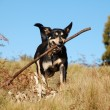 Dog retrieving a stick in bush — Stock Photo #2332003