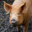 Royalty-Free Stock Photo: Brown pig looking at the camera