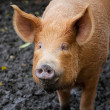 Brown pig looking at the camera — Stock Photo