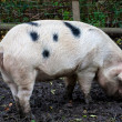 Huge pig eating in a muddy field - Photo