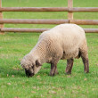 Stock Photo: Black faced sheep in green grass field