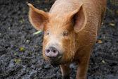 Brown pig looking at the camera — Stock Photo