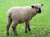 Black faced sheep — Stock Photo