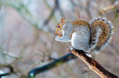 Squirrel eating an acorn — Stock Photo