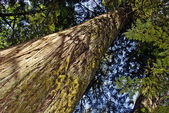 Old Growth Cedar — Stock Photo