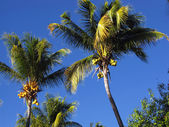 Coconut trees in the blue sky — Stock Photo