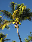 Coconut tree in the blue sky — Stock Photo
