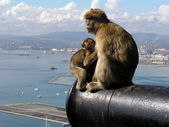 Barbary Apes in Gibralter — Stock Photo