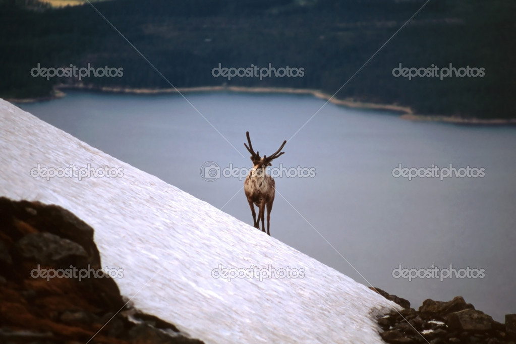 A reindeer standing on mountain by the lake — Stock Photo #2447534