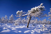 Snowy trees in forest — Stock Photo