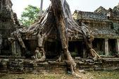 Big Tree at Preah Khan Temple, Angkor Wat, camb — Stock Photo