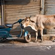 Cow and scooter, Old Delhi, India. - Stock Photo
