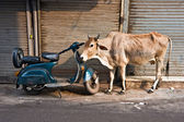 Cow and scooter, Old Delhi, India. — Stockfoto