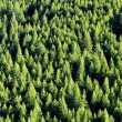 Forrest of Pine Trees - Stock Photo