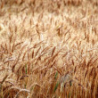 Wheat Grain — Stock Photo #2348686