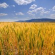 Wheat Grain - Stock Photo