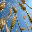 Wheat Grain — Stock Photo #2350498