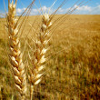 Stock Photo: Wheat Grain