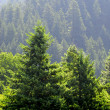 Stock Photo: forrest of pine trees