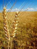 Wheat Grain — Stock Photo