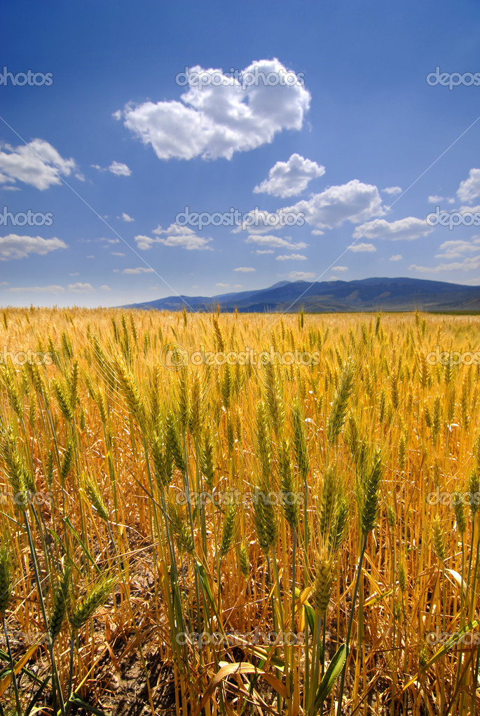 Heads of wheat grain with field in background — Stock Photo #2350434