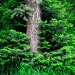 Forrest of Pine Trees — Stock Photo #2507071