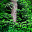 forrest of pine trees — Stock Photo