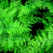 Lush Green Ferns — Stock Photo #2507084