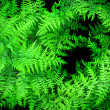 Stock Photo: Lush Green Ferns