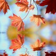 Fall Maple Leaves — Stock Photo #2509073